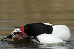 Common shelduck (tadorna tadorna), male, preening, minsener oog island, east  Stock Photos