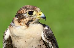 Profile of peregrine falcon with yellow beak Stock Photos