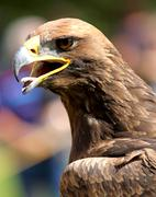 Stock Photo of close-up of a mighty eagle
