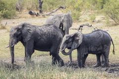 african bush elephants (loxodonta africana), madumu national park, caprivi st - stock photo