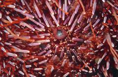 mouth of green sea urchin (strongylocentrotus droebachiensis), japan sea, pri - stock photo