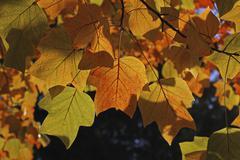 Autumn leaves, leaves of a tulip tree (liriodendron tulipifera), mainau islan Stock Photos
