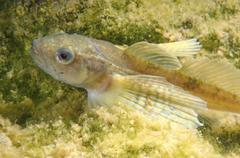 yellow-fin baikal sculpin or baikal yellowfin (cottocomephorus grewingki), fe - stock photo