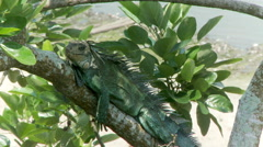 iguana in Quito Equador - stock footage