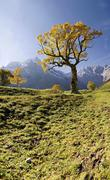 Glowing autumnal maple tree, snow-covered mountains, grosser ahornboden, karw Stock Photos