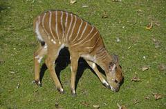 grazing nyala antelope (tragelaphus angasii), tierpark hellabrunn zoo, munich - stock photo