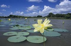 American lotus (nelumbo lutea), blooming in lake, sinton, coastal bend, south Stock Photos
