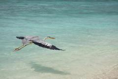 Stock Photo of grey heron (ardea cinerea) in flight, rannalhi island, maldives, indian ocean