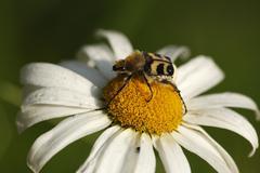 Bee beetle (trichius fasciatus) on bloom of a daisy Stock Photos