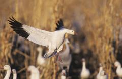 Snow goose (chen caerulescens), adult in flight, bosque del apache national w Stock Photos