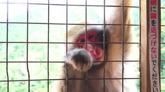 Japanese Macaque Monkey Reaching Thru Gate 4k Stock Footage