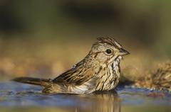 Stock Photo of lincoln\'s sparrow (melospiza lincolnii), adult bathing, uvalde county, hill
