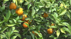 Orange Fruits in Orchard, Fresh Juicy Tropical Citrus Fruits on Branches in Tree Stock Footage