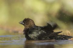 brown-headed cowbird (molothrus ater), male bathing, uvalde county, hill coun - stock photo