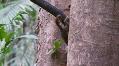Pygmy Marmoset 8 Stock Footage