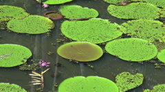 Amazon water lilies pink flower  Stock Footage