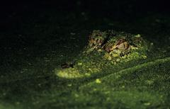 American alligator (alligator mississipiensis), adult at night in duckweed ca Stock Photos