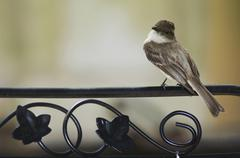 eastern phoebe (sayornis phoebe), adult perched on chair, hill country, texas - stock photo