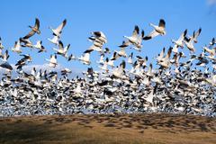snow geese take flight - stock photo