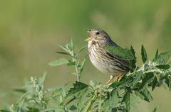 corn bunting (miliaria calandra) - stock photo
