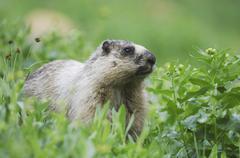 hoary marmot (marmota caligata), adult eating, logan pass, glacier national p - stock photo