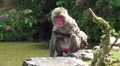 Wet Japanese Macaque Monkey Cleans Itself By Pond HD HD Footage