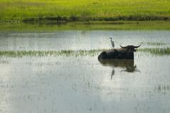 water buffalo and white egret bird - stock photo