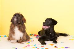 cross breed dog laying with confetti - stock photo