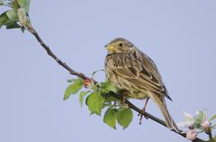 corn bunting (miliaria calandra), adult, national park lake neusiedl, burgenl - stock photo