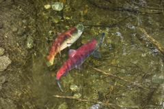 Sockeye salmons (oncorhynchus nerka) spawning, alaska, usa Kuvituskuvat