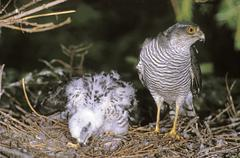 Sparrowhawk (accipiter nisus) female with chicks at the aerie Stock Photos
