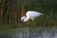 Great egret (casmerodius albus, egretta alba), with a newt, standing in water Stock Photos