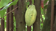 Amazon cacao pod Stock Footage