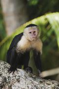 White-faced capuchin (cebus capucinus), adult on palm tree, manuel antonio na Stock Photos