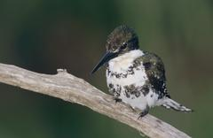 green kingfisher (chloroceryle americana), female, cameron county, rio grande - stock photo