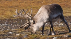 Wild reindeer in natural environment - stock footage