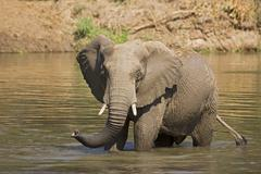african bush elephant (loxodonta africana) in zambezi river, lower zambezi na - stock photo