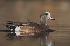 American wigeon (anas americana), male swimming, hill country, central texas, Stock Photos