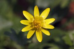 Lesser celandine (ranunculus ficaria), close up of a blossom Stock Photos