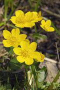 Kingcup or marsh marigold (caltha palustris), with yellow flowers Stock Photos