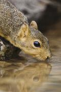 eastern fox squirrel (sciurus niger), adult drinking from spring fed pond, uv - stock photo