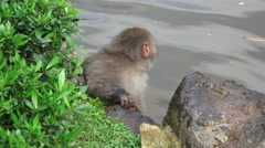 Wet Japanese Macaque Monkey On Rocks By Pond 4K - stock footage