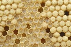 honey bee (apis mellifera) drone larvae in brood cells shortly before the tra - stock photo