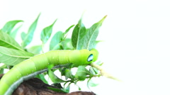 """Giant Asian """"Juicy Caterpillar"""" eating on a white background. Stock Footage"""