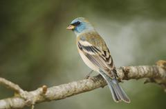 lazuli bunting (passerina amoena), male, uvalde county, hill country, central - stock photo
