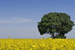 tree in field of rape (brassica napus) - stock photo