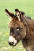 Domestic donkey (equus asinus asinus) with pricked up ears Stock Photos