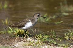 Commom sandpiper (actitis hypoleucos) searching for food on the water\'s edge Stock Photos