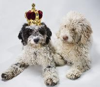 Two Portuguese Water Dogs lying side by side, one wearing a crown Stock Photos