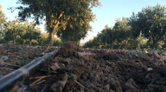 Of drip irrigation and olive plantations (14) - stock footage